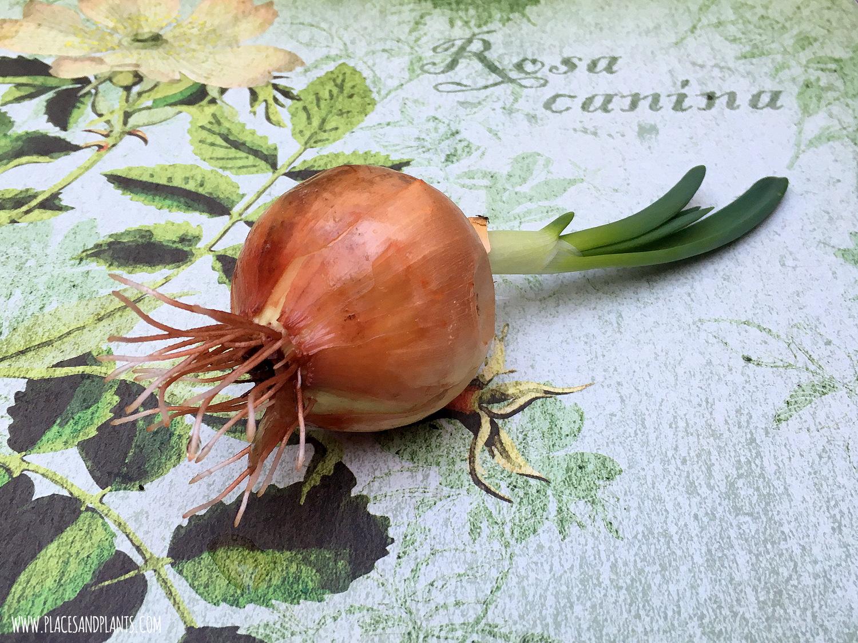 szczypiorek z cebuli