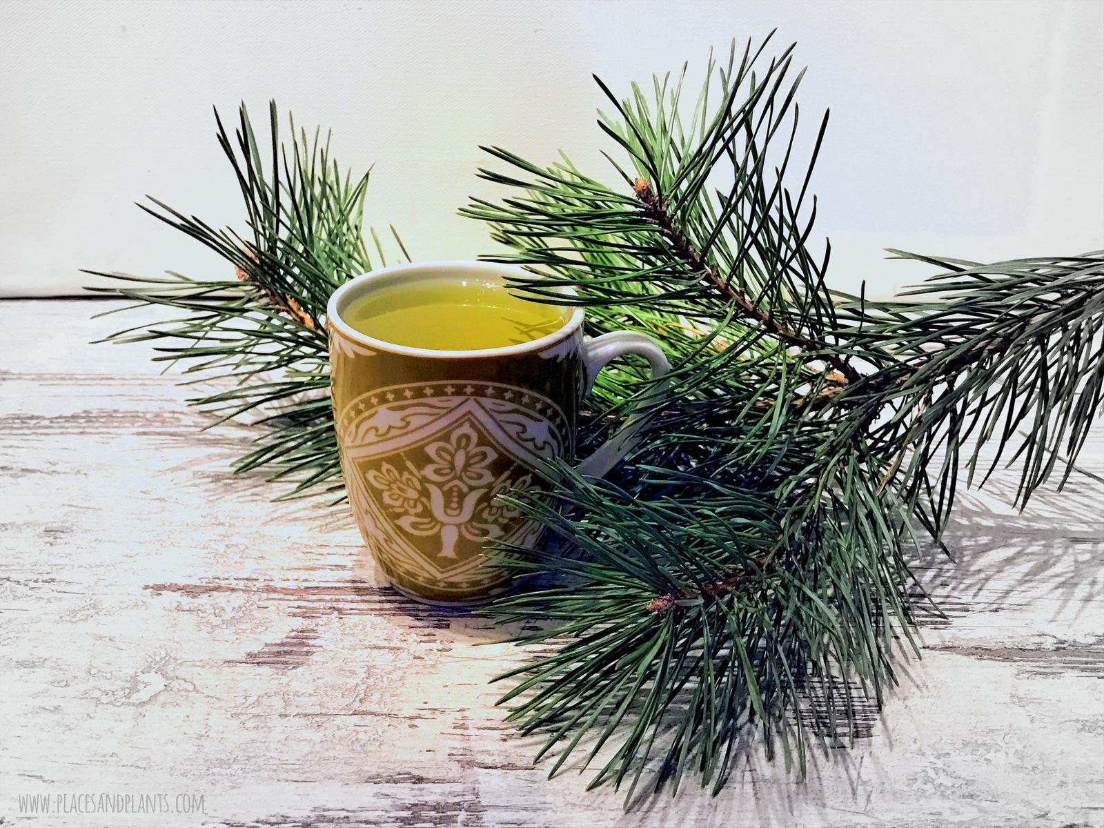herbatka z igieł sosny