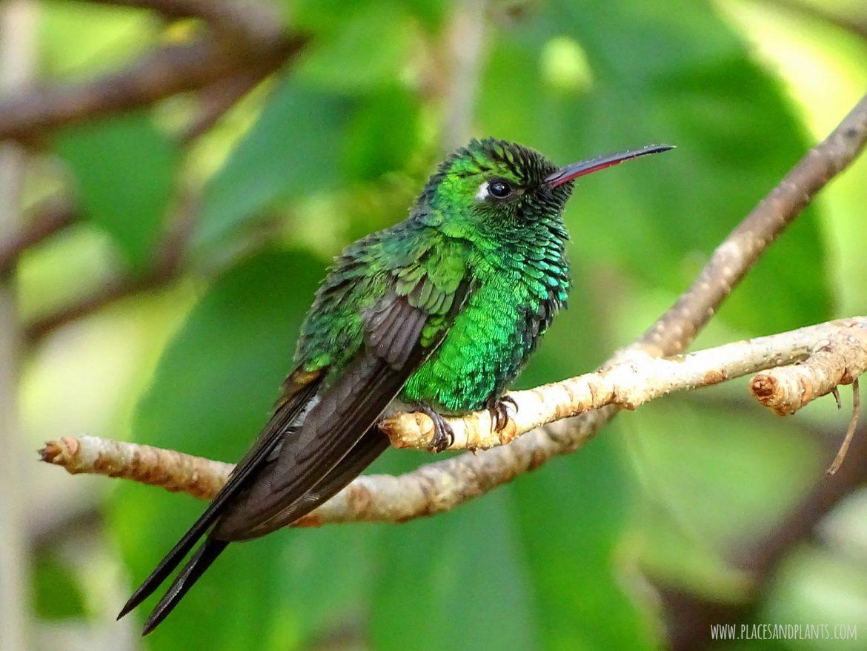 koliber hummingbird