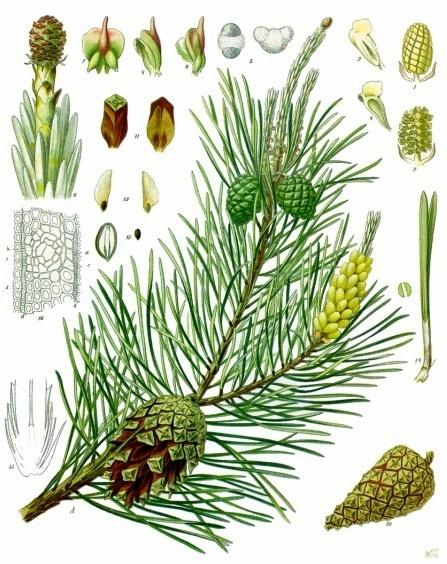 Sosna zwyczajna Pinus_sylvestris
