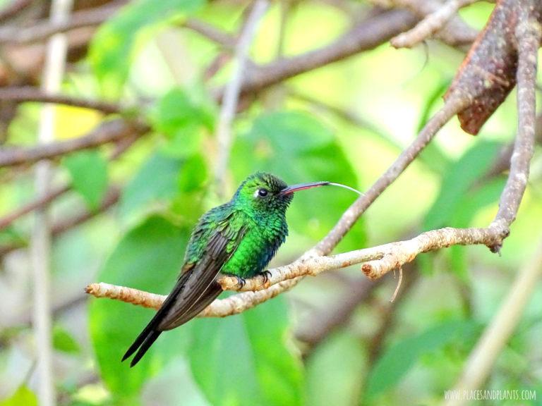 Kuba koliber