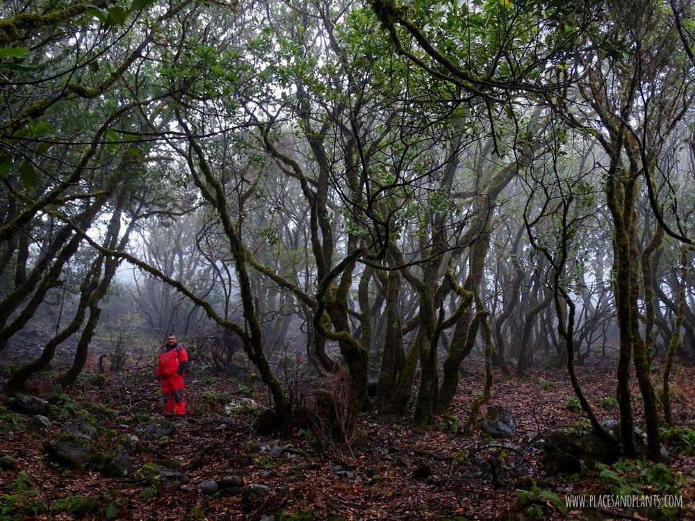 Laursilva Madera drzewo laurowe