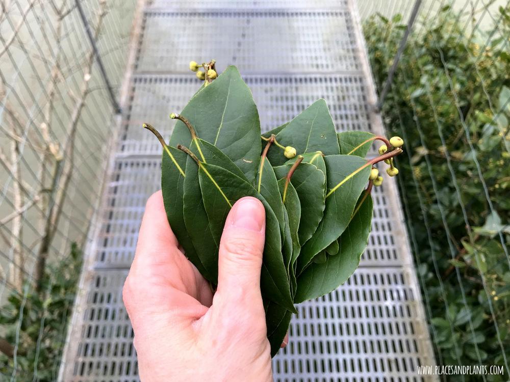 liście bobkowe